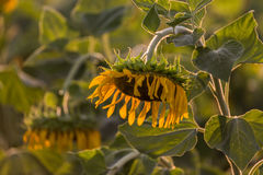 Drooping sunflower Stock Photo