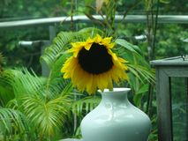 Drooping sunflower in a vase. Drooping sunflower in a white vase on a Singaporean balcony filled with green plants Royalty Free Stock Photo