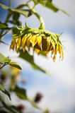 Drooping sunflower. Yellow sunflower hanging face down Stock Photo