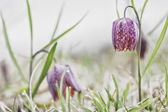 Drooping Tulip a meadow springflower. Spring flowering wildflower, Fritillaria meleagris. Blooming of a pink wild flower Royalty Free Stock Photos