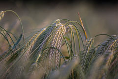 Drooping Wheat. Wheat Grain Field Growing with drooping ears Stock Images