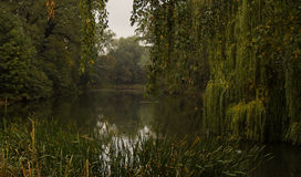 With drooping willow branches on autumn lake Stock Photos
