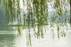 The drooping willow like curtains Stock Images
