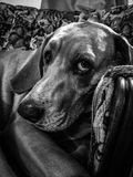 Droopy eyed pup. Sad tired lazy dog royalty free stock photography