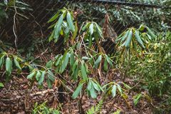 Droopy long and waxy leaves. Plant looks similar to Rhododran tree Royalty Free Stock Photos