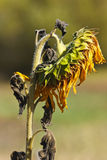 Droopy Sunflower Royalty Free Stock Photo