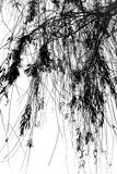 Droopy Tree Branches. Tree Branches with droopy thin branches in B/W Stock Image