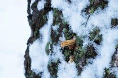 Drop of birch sap Stock Images