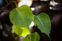 Drop on Bodhi Leaf Stock Images