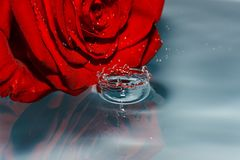 Drop of clean water with red rose Stock Photography