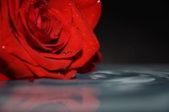 Drop of clean water with red rose royalty free stock photo