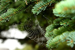 Drop of condensation on the spider-web Royalty Free Stock Photo