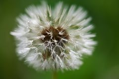 Drop dandelion Royalty Free Stock Photos