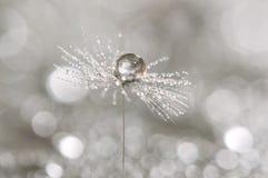 A drop of dew on a dandelion. Macro of dandelion art work. Royalty Free Stock Image