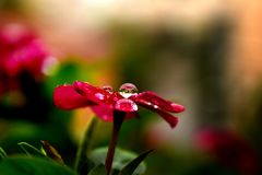 A drop of dew on a flower. A drop of early morning dew calmly sitting on top of a beautiful red flower royalty free stock images