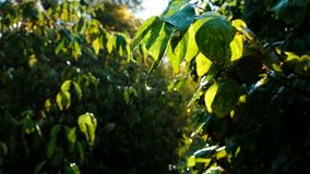 Drop of dew on a green leaf. Leaves glow in the sun. Rays at dawn after rain stock footage