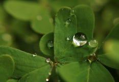 Drop of dew on green shamrock royalty free stock photo