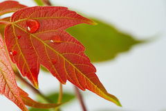 Drop of dew on red maple leaf Royalty Free Stock Image