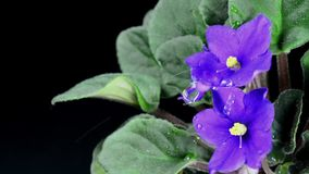 Drop falls on a flower purple violet closeup stock footage