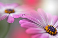 Drop on floral  background closeup.Tranquil abstract closeup art photography.Print for Wallpaper...Floral fantasy design... Royalty Free Stock Image