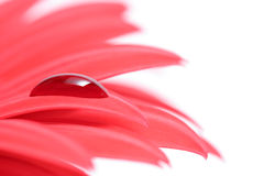 Drop on flower petal. Macro of a red droplet on a petal of a red gerber daisy Stock Image
