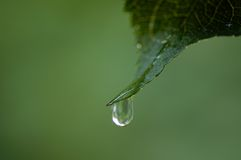 Drop hanging  on leaf tip Royalty Free Stock Photo