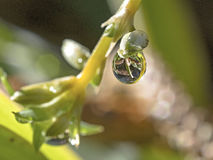 A drop hanging from a twig. A macro shot of a single drop ready to detach. This is an excellent frame for nature and atmosphere use Stock Photos