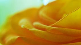 A drop jumps on a yellow rose stock footage