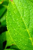 Drop leaf. Beautiful leaves after rain droplets Royalty Free Stock Photo