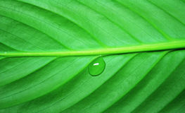 Drop on a leaf. Drop on a green juicy leaf close up royalty free stock image