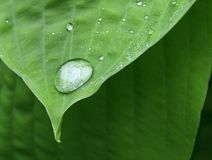 Drop on leaf tip. Clear water drop on tip of green plant leaf Stock Image