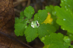 A drop on leaf. In the undergrowth, a natural jewel Stock Images