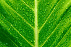 Drop on leaves after the rain looks wet on wayside Royalty Free Stock Images