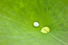 Drop on Lilly Royalty Free Stock Photography