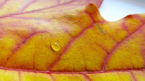Drop on maple leaf macro stock images