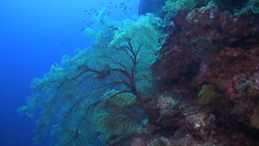Drop off on a coral reef. With huge colorful sea fans stock video