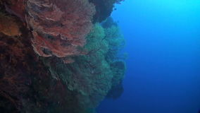 Drop off on a coral reef. With huge colorful sea fans stock footage