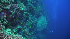 Drop off on a coral reef. With sae fans, soft corals, sponge corals, damselfish, unicornfish, surgeonfish and divers stock video footage
