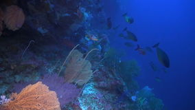 Drop off on a coral reef. With a school Unicornfish, Sweetlips and Whitetip Reef Shark stock video footage