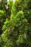 Drop on pine Stock Photos