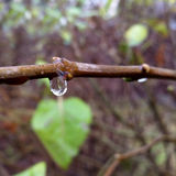 Drop of rain. A drop of rain on a twig Stock Images