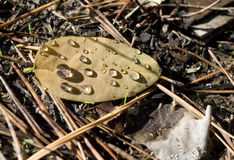 Drop of rain on yellow leaf Royalty Free Stock Photography
