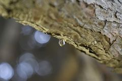 A drop of resin on a pine branch. Pine oleoresin is a special substance that is by coniferous trees during normal metabolism and as a result of damage to the stock photo