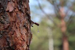 A drop of resin on a pine tree stock image