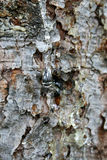 Drop of resin on pine tree. Stock Photo