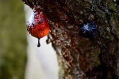 Drop of resin on tree bark. Drop of resin on tree royalty free stock image