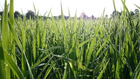 Drop Rice. #Drop #rice #morning #nature #thailand #original #light #shadow #photo #background #ttzanzone #z1f stock photos