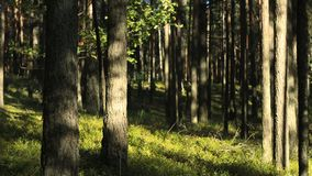 Shadow creeps on trees in the forest in summer. Timelapse. Drop shadow creeps on trees in the forest in summer timelapse, dense green forest, green grass and stock video footage