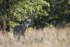 Drop Tine Whitetail Buck. Big Drop Tine Whitetail Buck in Foliage Stock Photo