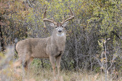 Drop tine whitetail buck in full rut. Drop tine whitetail buck with swollen neck Royalty Free Stock Photography